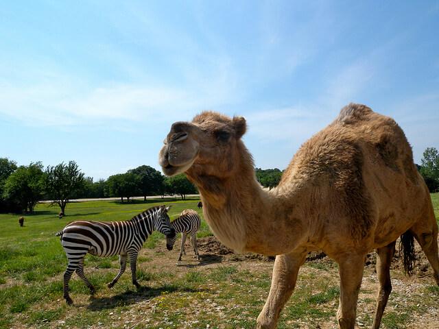 zebra and camel