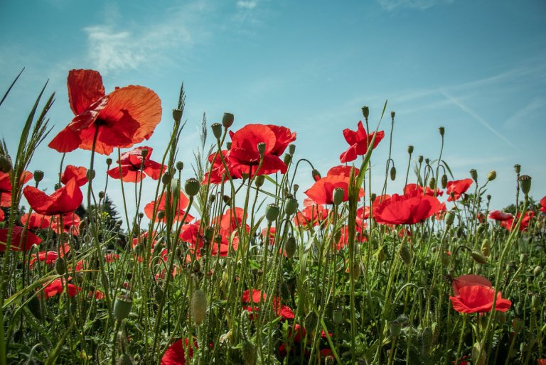 Remembrance Day Worksheets – Wordsearch & Colouring Page