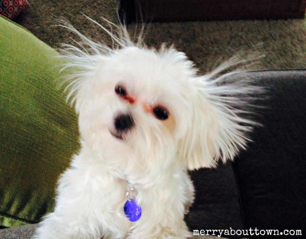 cute maltese puppies Static Cling Cooper.jpg