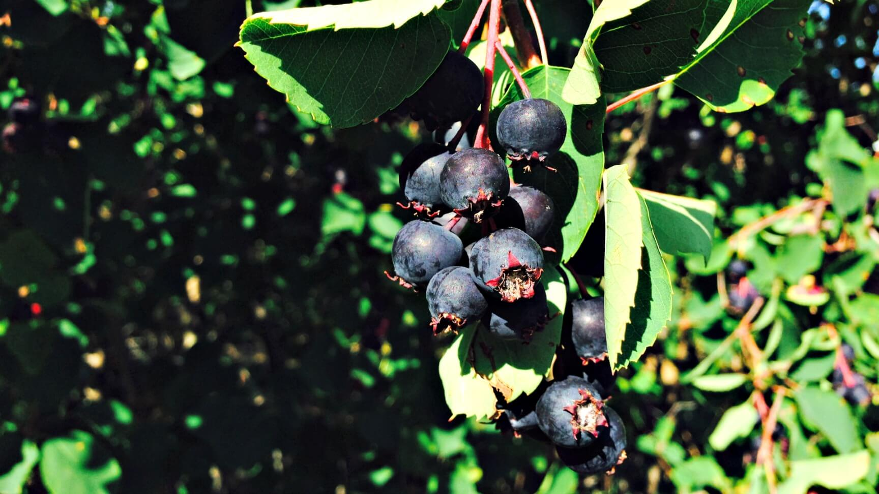 Albeerta Tourist Attractions Saskatoon Berry U-pick