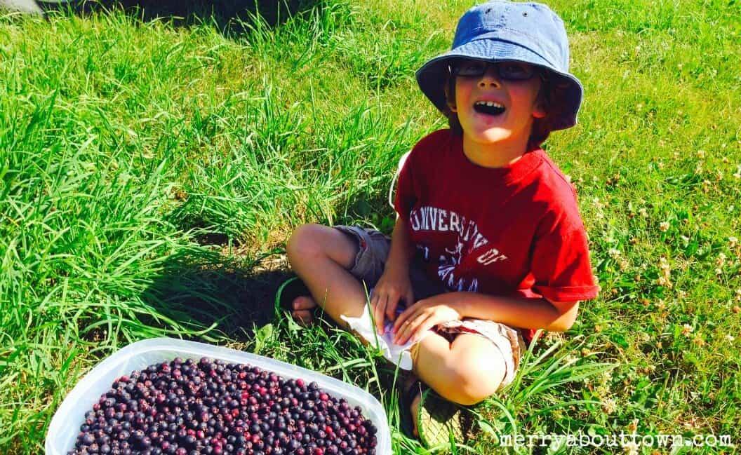 Saskatoon Berry Picking - Merry About Town