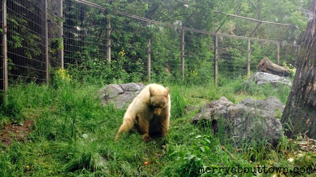White Bear at the Calgary Zoo - Merry About Town