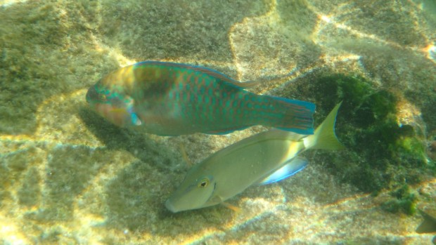 Parrotfish at Xel-Ha