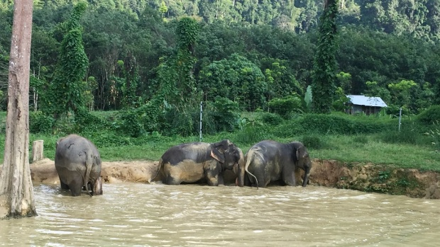 Elephants LOVE the mud puddle