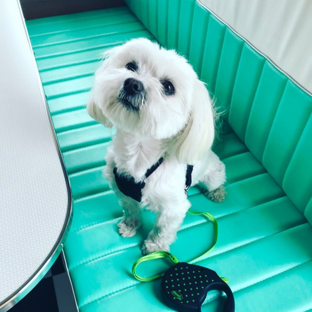 Cooper the Maltese in a Shasta Airflyte