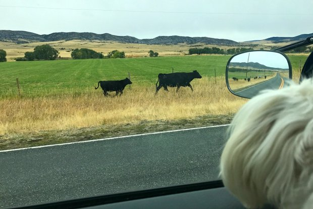 Cows on the highway in Montana