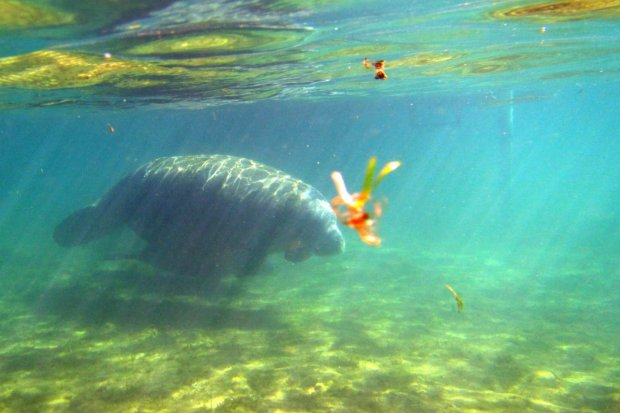 Manatees are gently giants