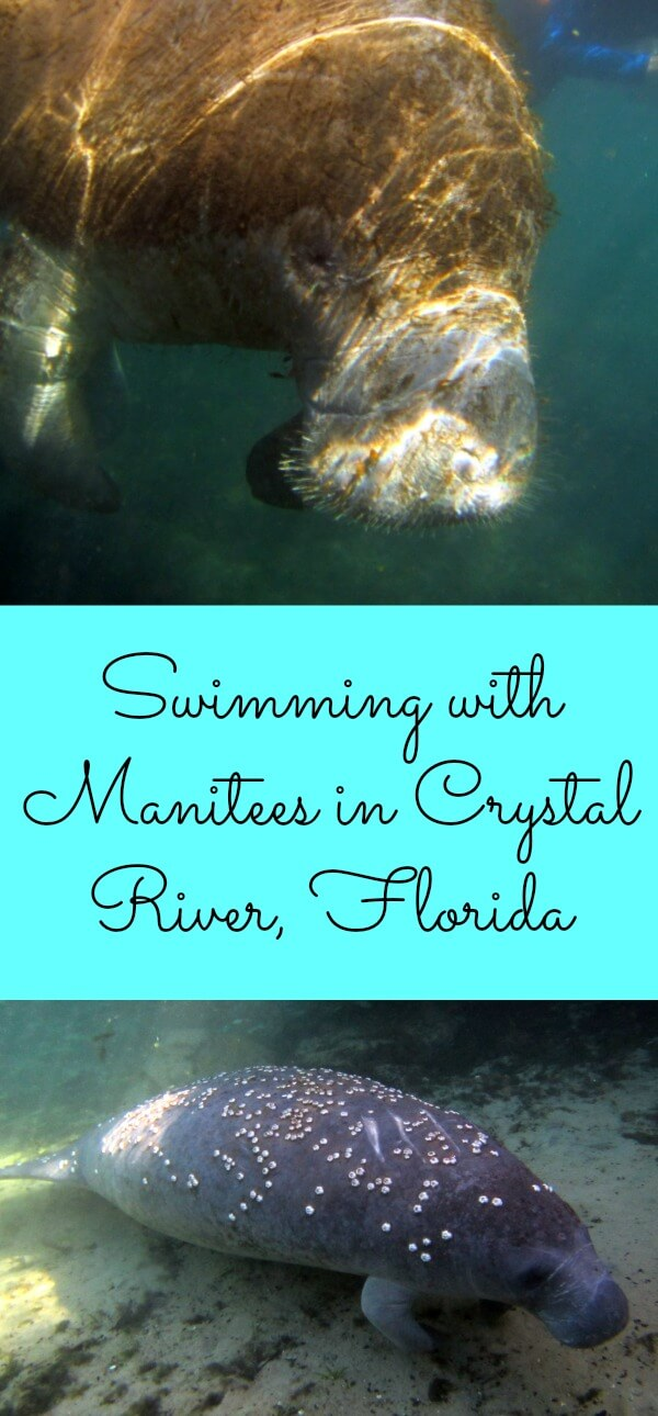 Swimming with Manitees in Crystal River, Florida