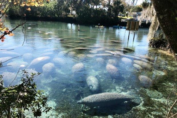 Manatees at Three Sisters Springs