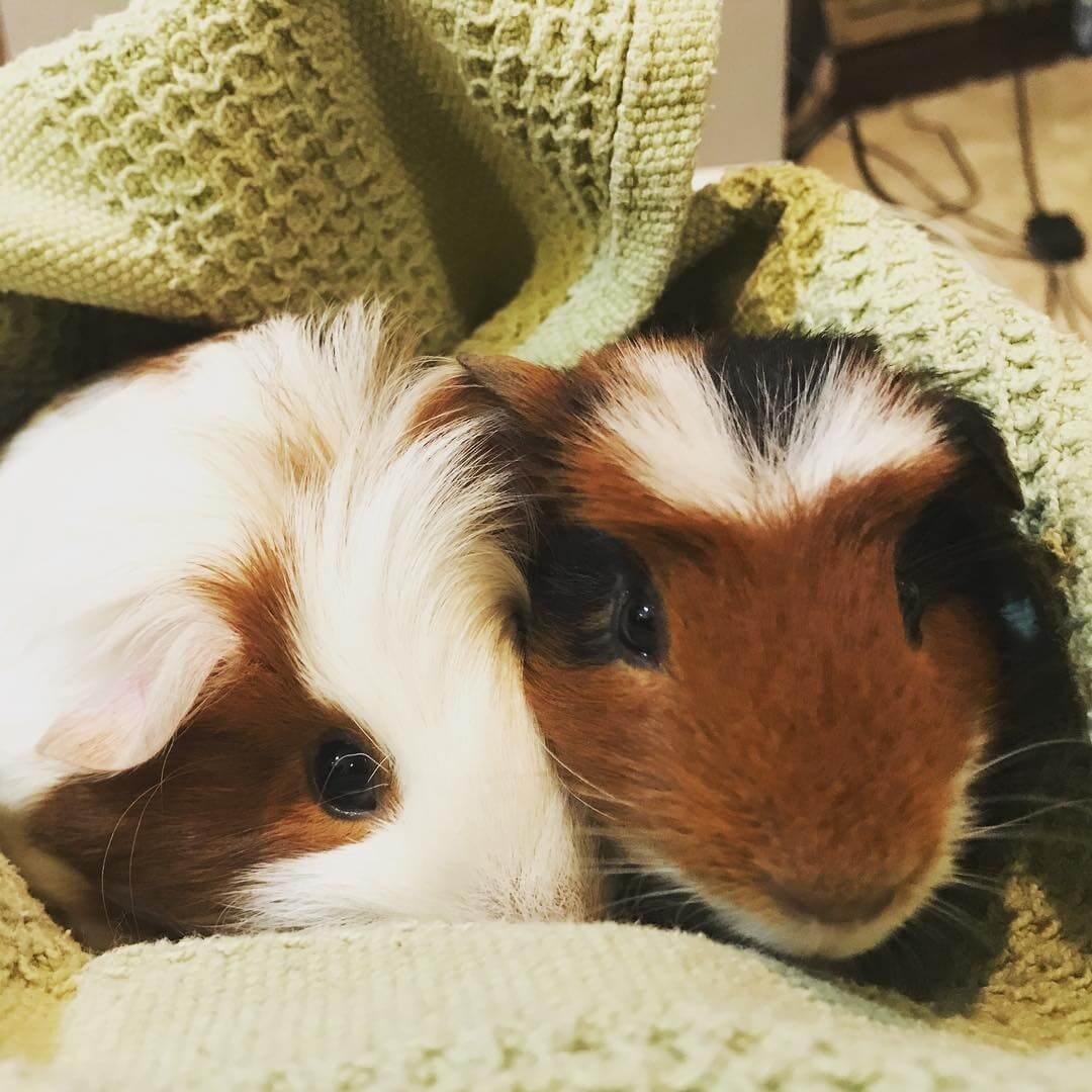 Pet Guinea Pigs