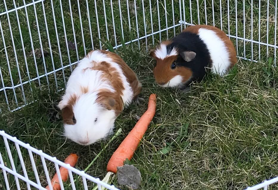 Taffy and Gumdrop the guinea pigs