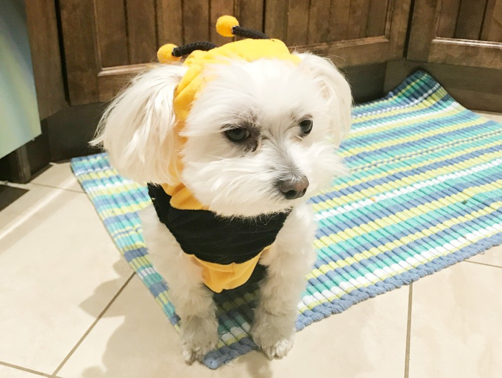 cute maltese puppies - Cooper as a bee
