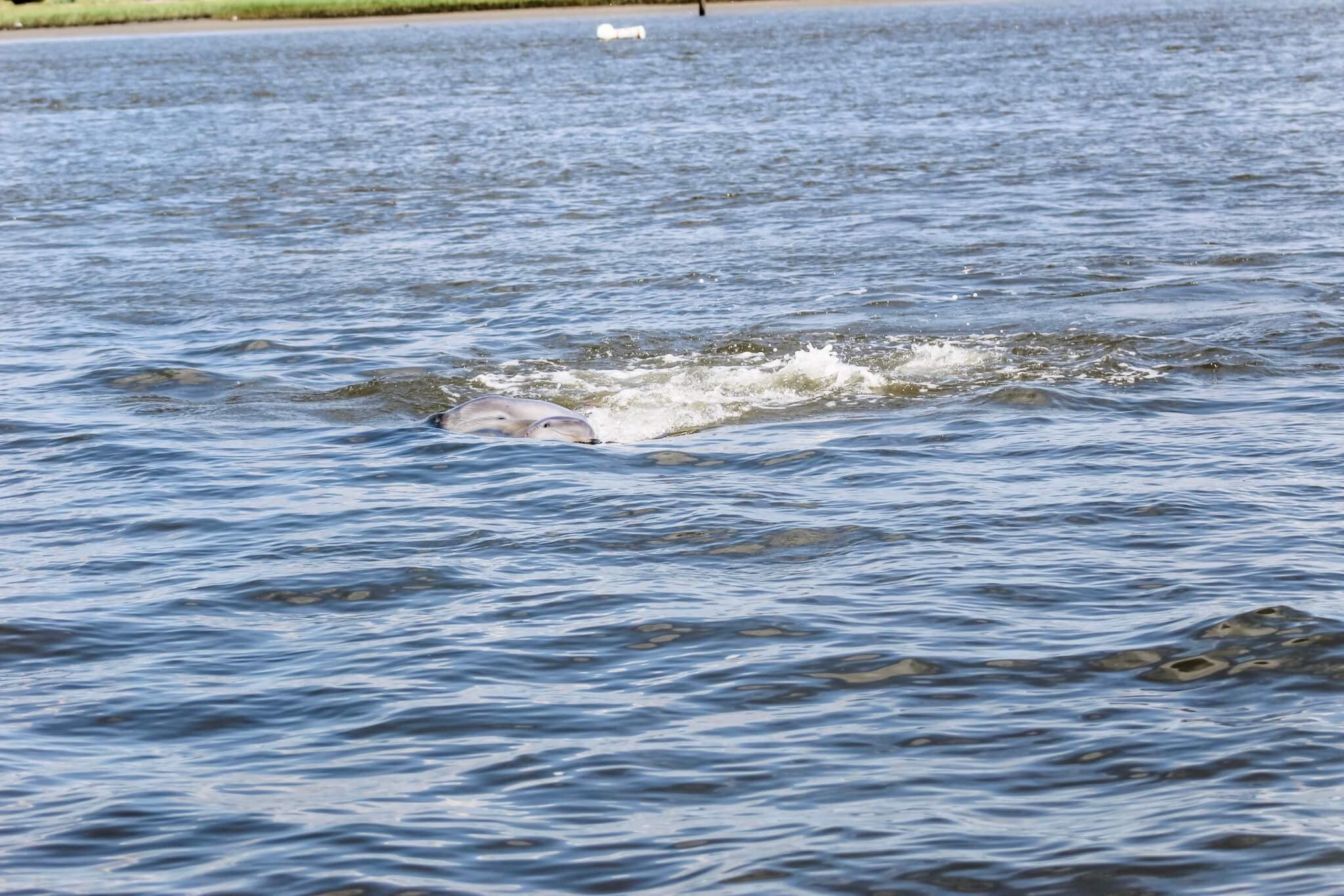 Wild Dolphins on St. Augustine Eco Tour