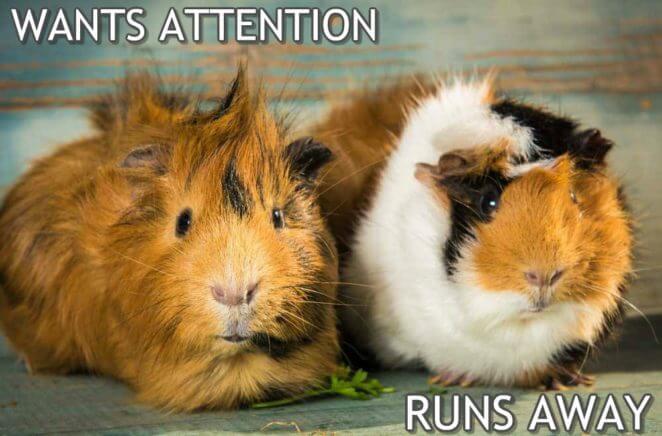 Guinea pigs run away