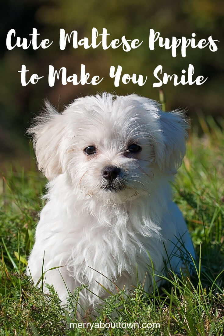 Cute Maltese Puppies to Make You Smile