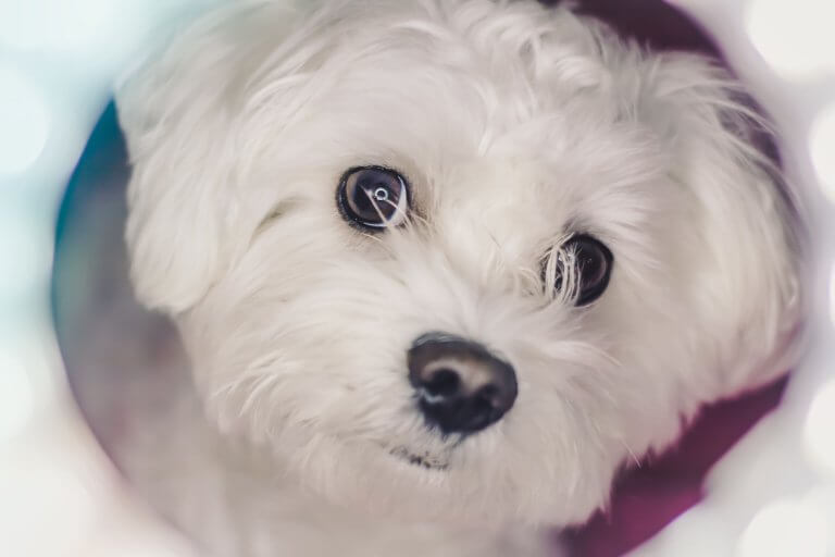 Cute Maltese puppies
