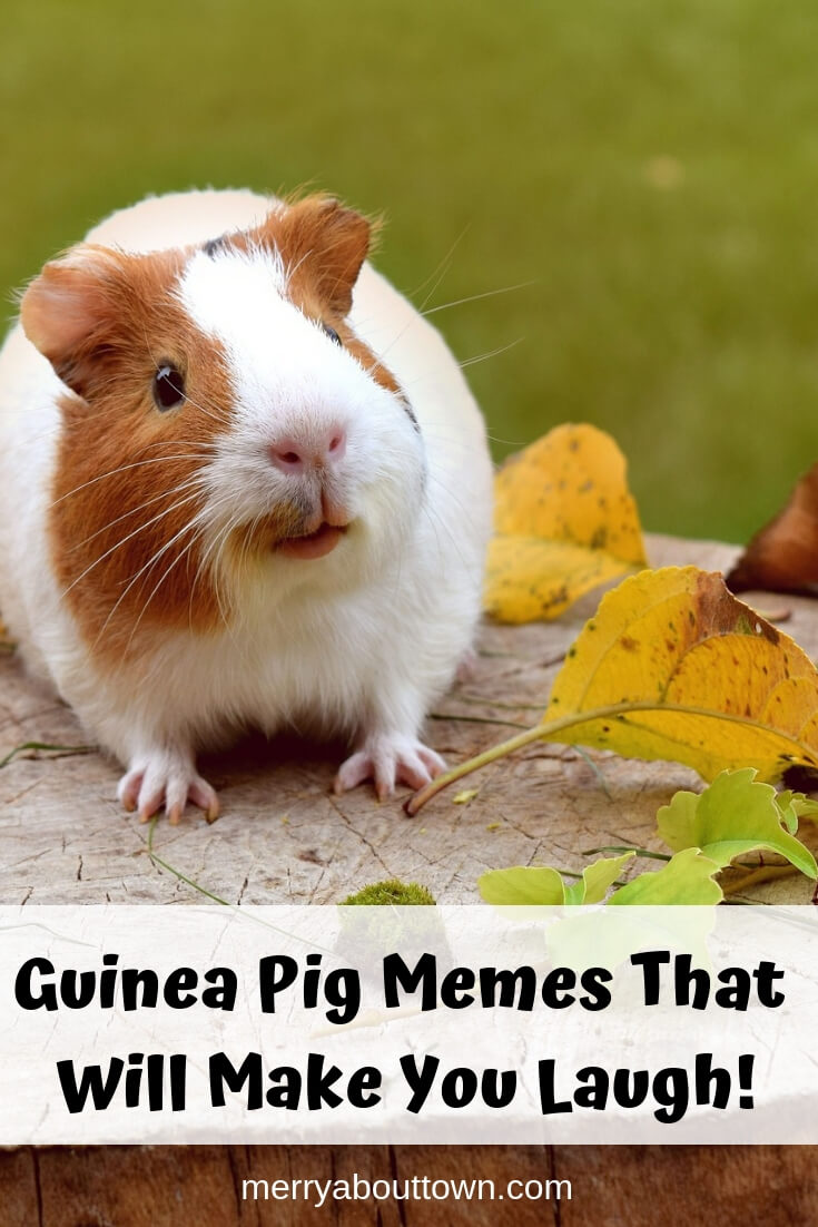 Guinea Pig Memes That Will Make You Laugh!