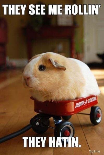 funny-guinea-pig-wagon