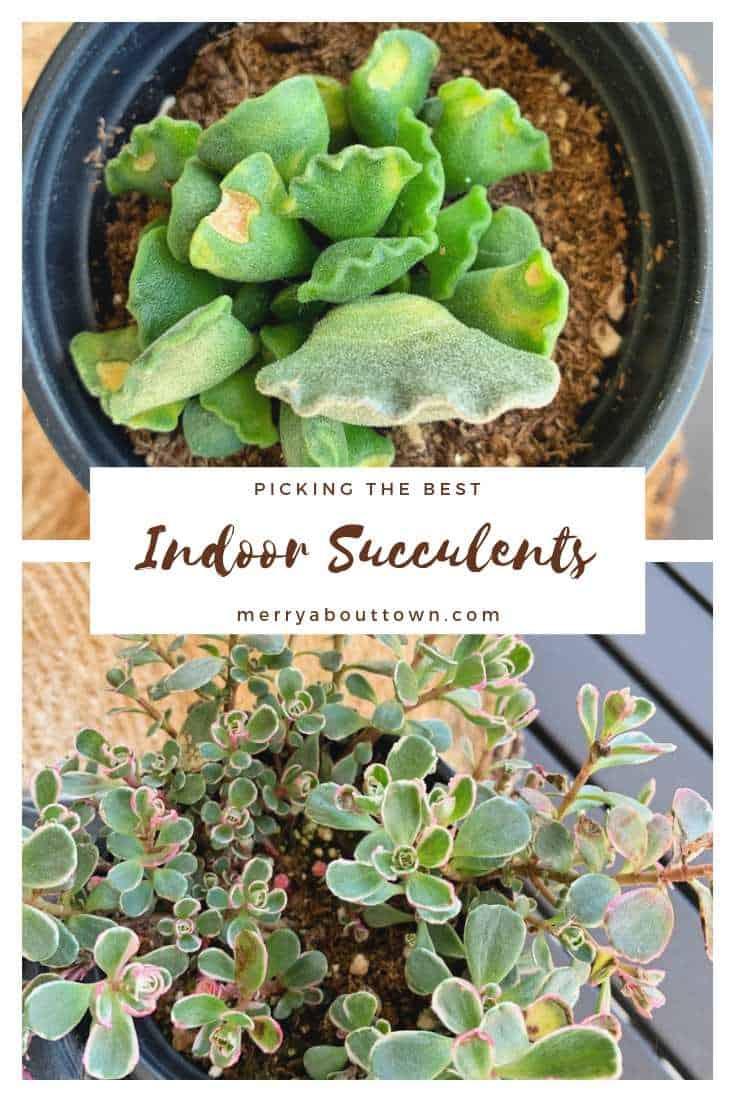 Choosing Indoor Succulents