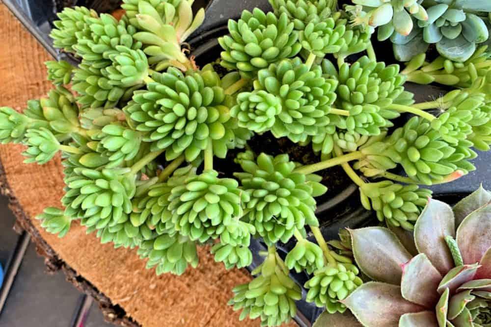 best indoor succulents Spanish Stonecrop